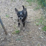 eleveur-elevage-chihuahua-chiot