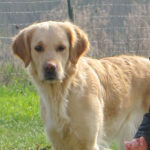 golden-retriever-exterieur