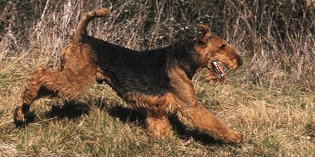 chien-airedale-terrier-Waterside-Terrier-courir