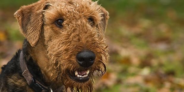 chien-airedale-terrier-Waterside-Terrier-portrait
