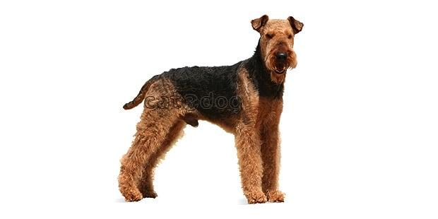 chien-airedale-terrier-Waterside-Terrier
