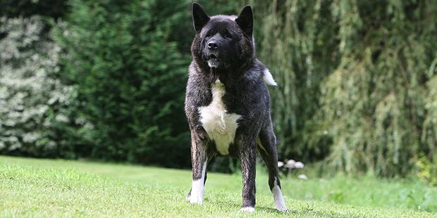 chien-akita-americain-American-Akita-herbe