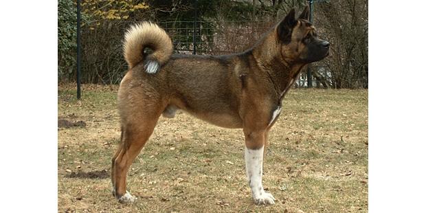 chien-akita-americain-American-Akita-exterieur