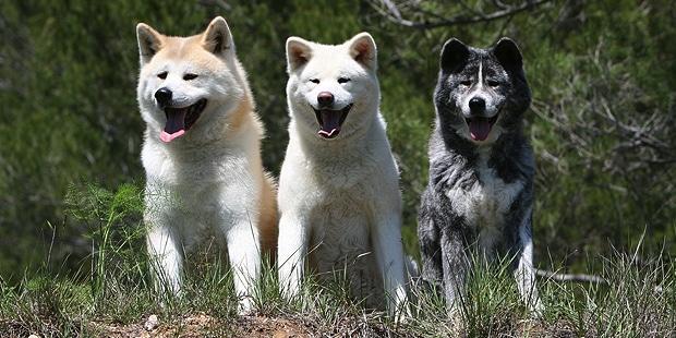 chien-akita-inu-trio