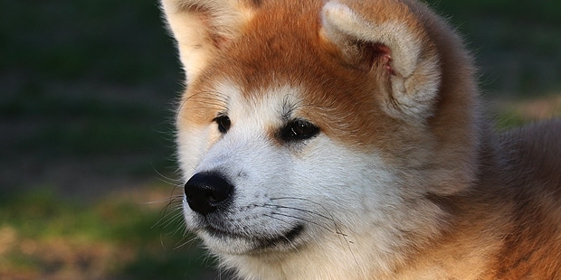 chien-akita-inu-portrait