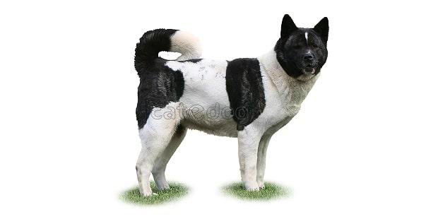 chien-akita-americain-American-Akita