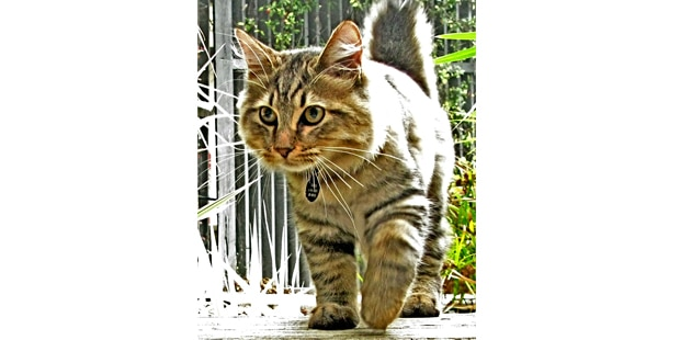 chat-american-bobtail-americain-marche