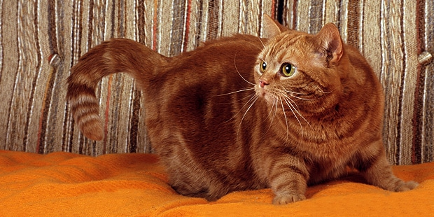 american-shorthair-american-wirehair-canape