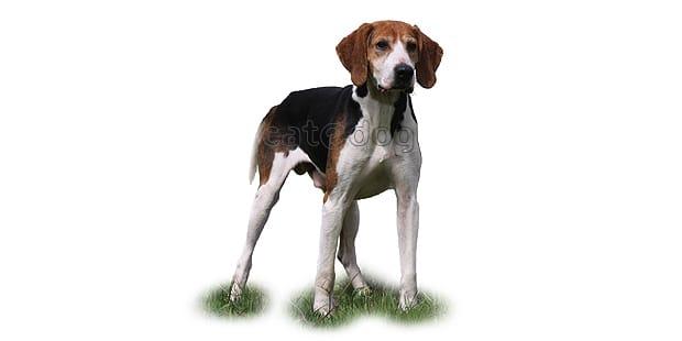anglo-francais-de-petite-venerie-chien