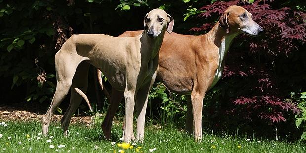 chien-azawakh-Sloughi-Touareg-couple