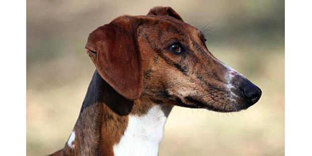 chien-azawakh-Sloughi-Touareg-portrait