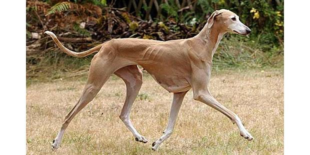 chien-azawakh-Sloughi-Touareg-marche