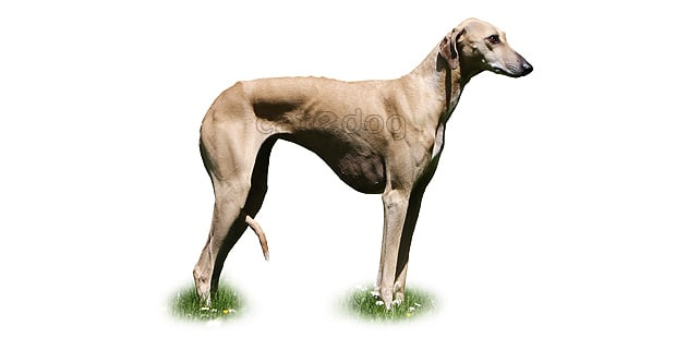 chien-azawakh-Sloughi-Touareg