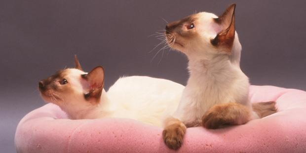 chat-balinais-mandarin-couche