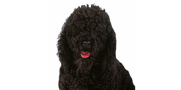chien-barbet-portrait