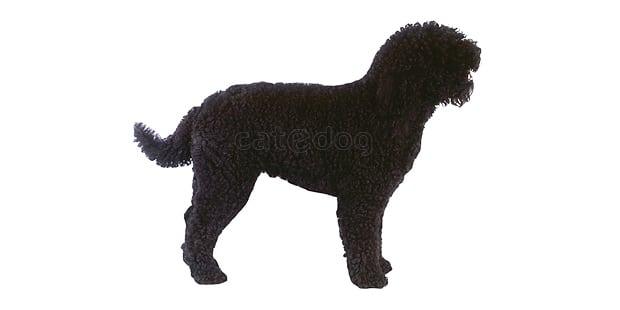 chien-barbet