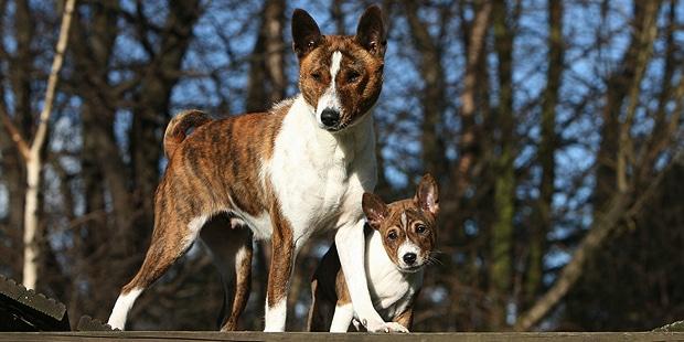 basenji-Terrier-du-Congo-exterieur-chienne-chiot