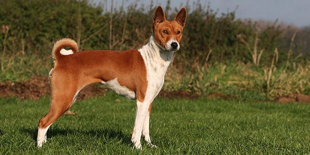 chien-basenji-Terrier-du-Congo-exterieur