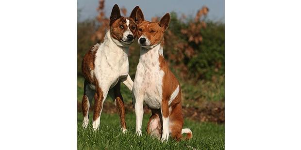 chien-basenji-Terrier-du-Congo_duo