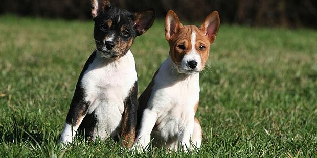 chien-basenji-Terrier-du-Congo_chiots