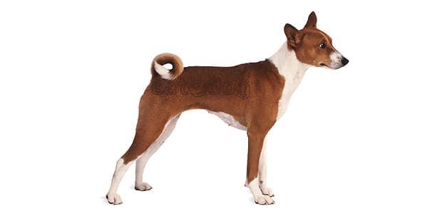 chien-basenji-Terrier-du-Congo