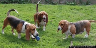 chien-basset-artesien-normand-trio