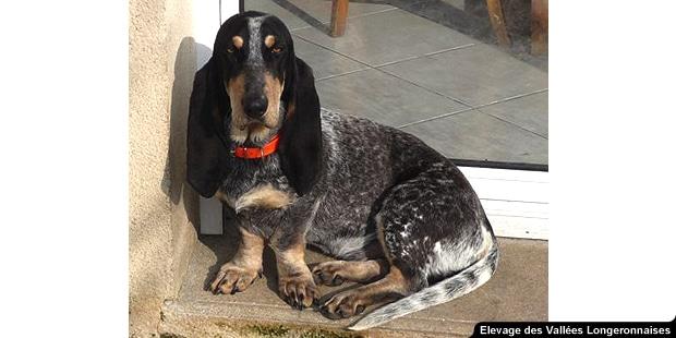 chien-basset-bleu-de-gascogne-assis