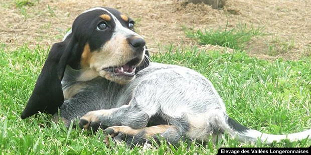 chien-basset-bleu-de-gascogne-chiot