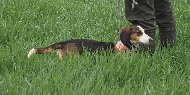 chien-basset-de-westphalie-herbes