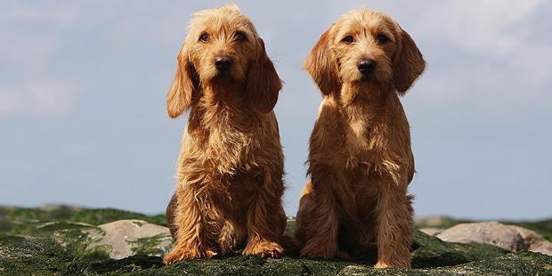chien-basset-fauve-de-bretagne-couple