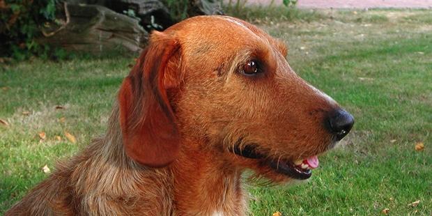 chien-basset-fauve-de-bretagne-portrait