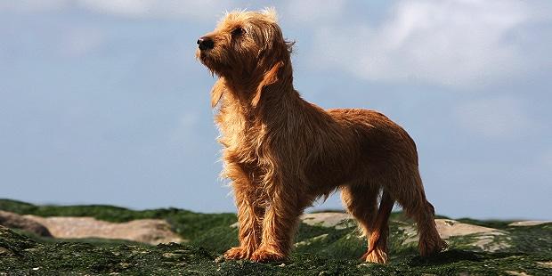 chien-basset-fauve-de-bretagne-exterieur