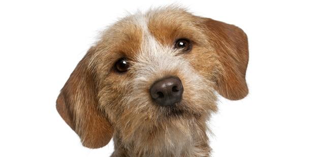 chien-basset-fauve-de-bretagne-tete