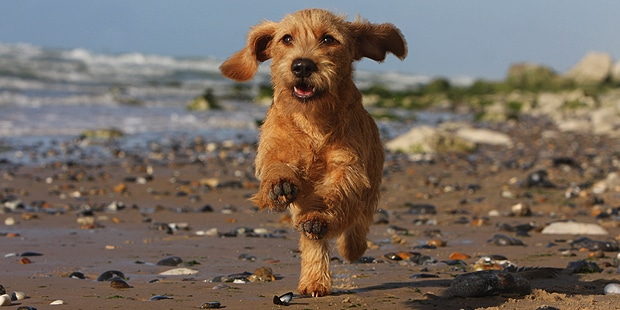 chien-basset-fauve-de-bretagne-courir