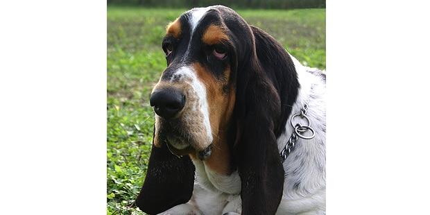 chien-basset-hound-exterieur-portrait
