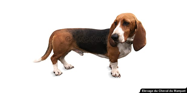 chien-basset-artesien-normand