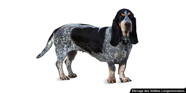chien-basset-bleu-de-gascogne
