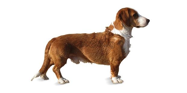chien-basset-de-westphalie