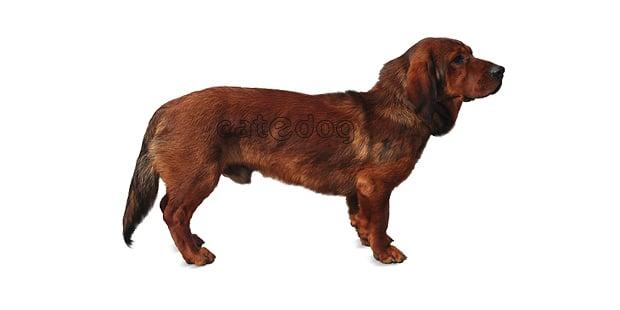 chien-basset-des-alpes