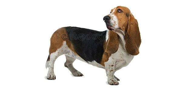 chien-basset-hound