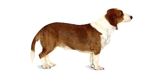 chien-basset-suedois-drever