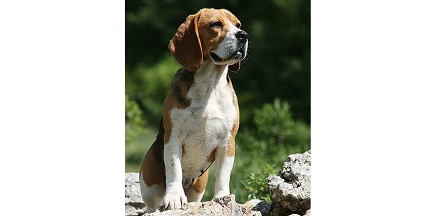 chien-beagle-assis