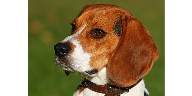 chien-beagle-portrait