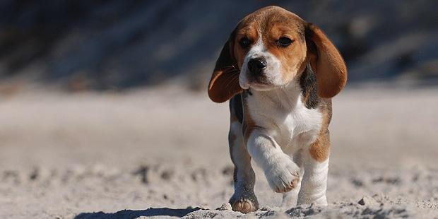 chien-beagle-chiot-marche