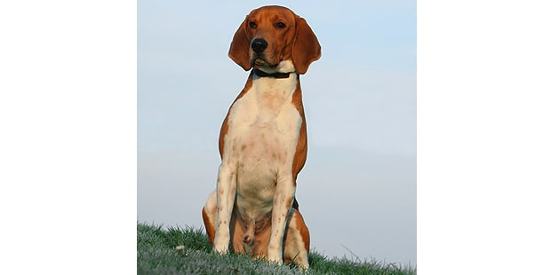 chien-beagle-harrier-assis