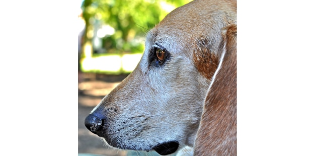 chien-beagle-harrier-portrait