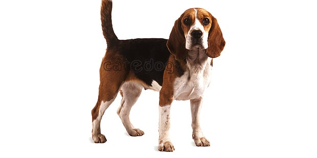 chien-beagle