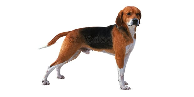 chien-beagle-harrier