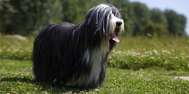 chien-bearded-collie-exterieur