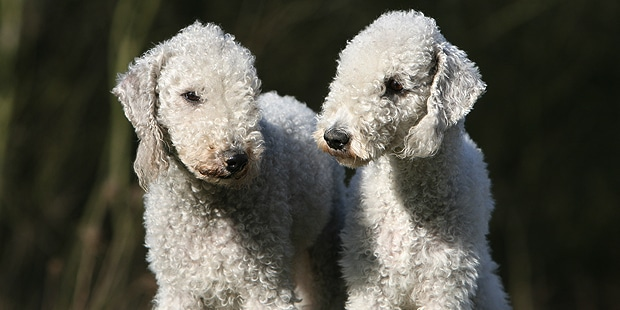 chien-bedlington-terrier-couple